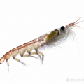 The Importance of KRILL